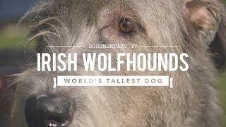 ALL ABOUT IRISH WOLFHOUNDS: THE WORLD'S TALLEST DOG