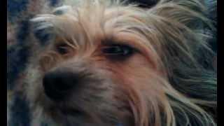 Тоша - Китайская хохлатая собака