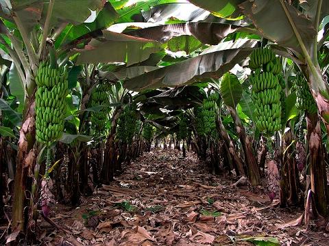 Caracteristicas de la Producción de Banano Criollo - TvAgro por Juan Gonzalo Angel