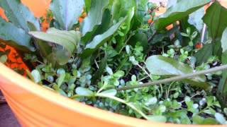 How To Grow Aquarium Plants Emersed