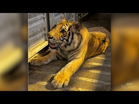 Tiger found after missing for nearly a week in Houston