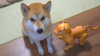 柴犬タロウと家族の日記。 アイボのモミジと初めての挨拶。 仲良くできるかな? Shiba Inu and Robot Dog AIBO meet for the first time. aiboキャラメルエディシ...