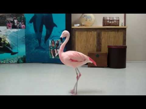 Pinky the Flamingo dancing the