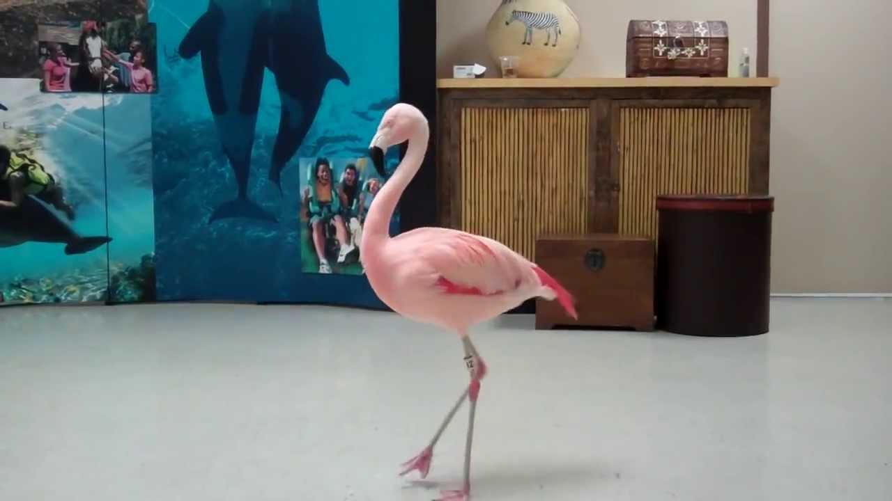 pinky the flamingo dancing the quotflamingo flamencoquot busch