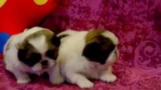 САВЕЛИНА питомник пекинесов - щенки на продажу
