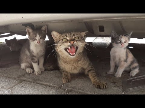 Angry Mother cat protects her Kittens and doesn't let anyone approach them.