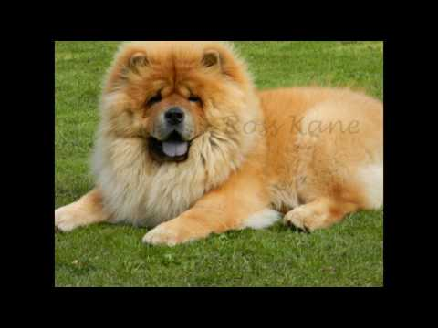 Chow Chow Dog Breed animals video