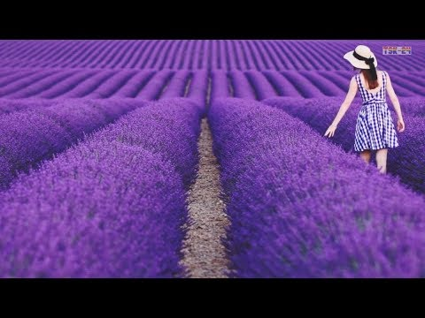 The Most Beautiful Lavender Flowers In The World Youtube