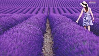 The Most Beautiful Lavender Flowers in the World