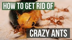 How to Get Rid of Raspberry Crazy Ants (Tawny Crazy Ants)