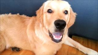 Video About My Golden Retriever's First Year