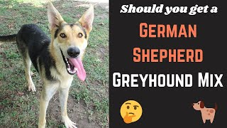 Detailed Guide on German Shepherd Greyhound Mix | Will this mixbreed be suitable for you?
