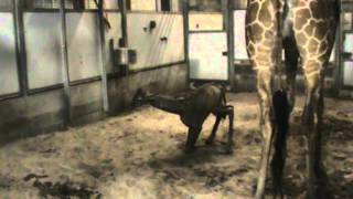 Giraffe Birth 11