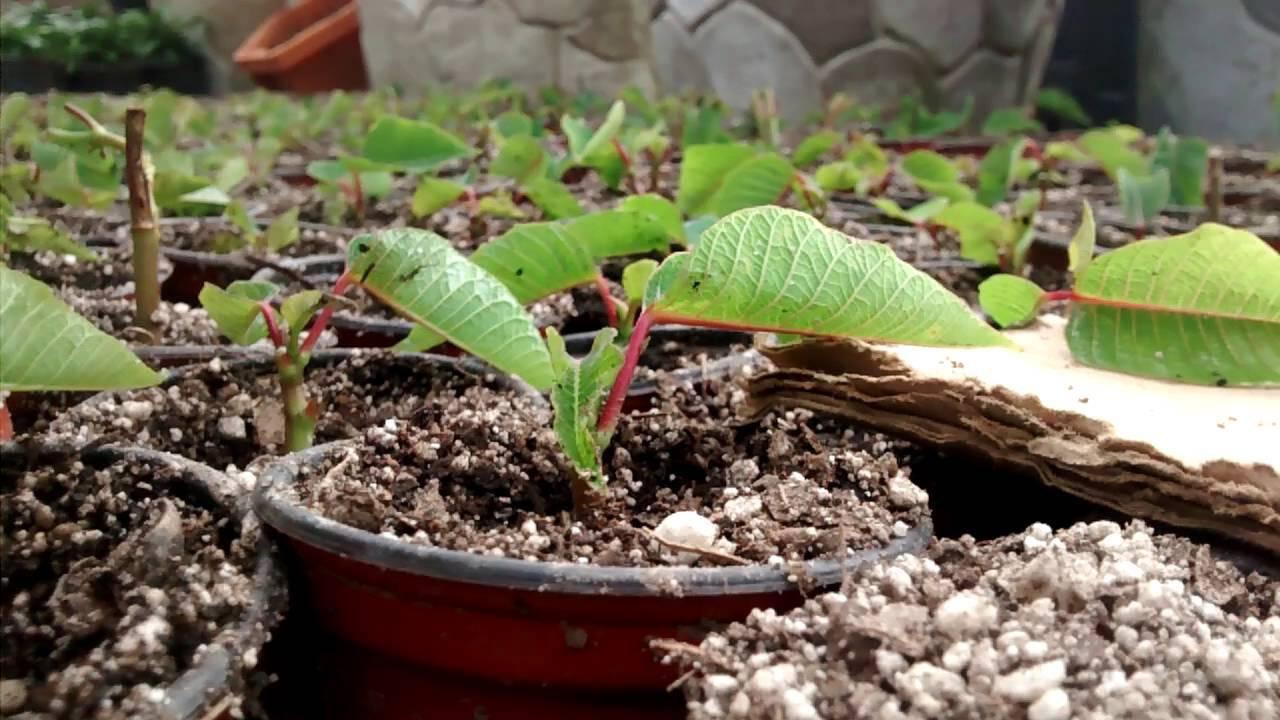 Nochebuena planta reproduccion asexual de las plantas