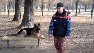 Видео урок с собакой. Выполнение команд на лавке с помощью мячика.