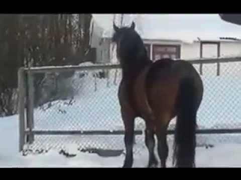 лошади породы орловский рысак - YouTube