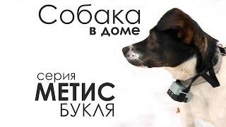 "Метис Букля. ""Собака в доме""."