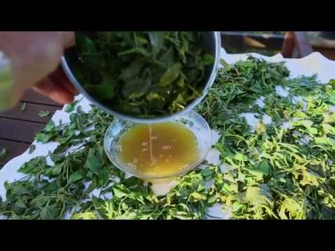 How to process fresh Green Tea first pick from your garden