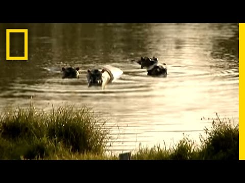 Pablo Escobar's Hippos | National Geographic