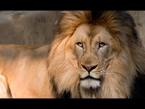 The Lion  |  Christopher Walken