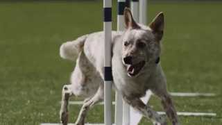 Dog Agility - Weave Poles - Competition - Pro Plan P5 Training