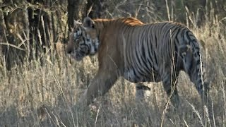 India 2015:  Bandhavgarh  National Park  (Part 2)     Madhya Pradesh