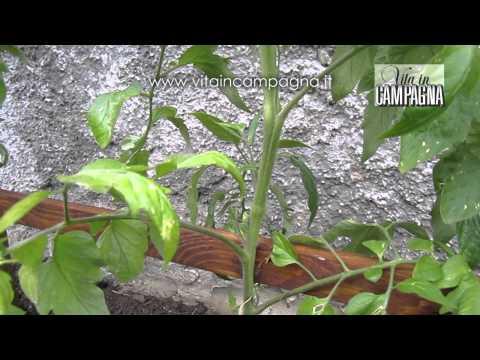 Coltivazione pomodori manutenzione e scacchiatura doovi for Scacchiatura pomodori