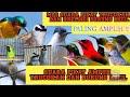Ampuh Pikat Trucukan Dan Burung Kecil Trucukan Kicau  Mp3 - Mp4 Download