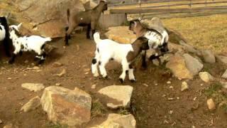 Holandská zakrsalá koza - prosinec 2011