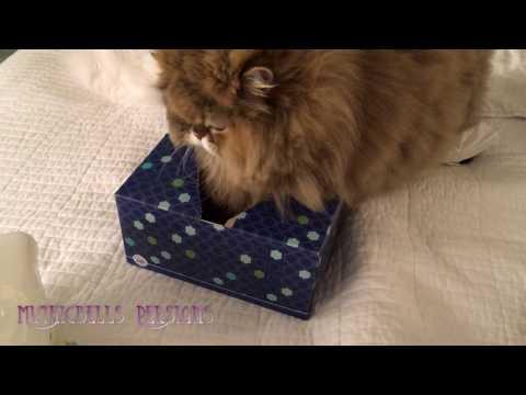 17 03 30 Persian kitty, Gypsy Rose, into the Kleenex ... again
