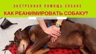 Экстренная помощь собаке. Как реанимировать собаку?