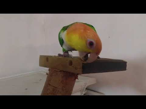 Caique Play 3
