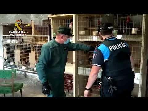 Operación de la Guardia Civil contra un criadero de gallos de pelea en Valladolid