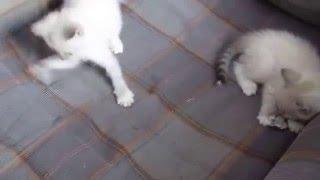 Тайские котята играют