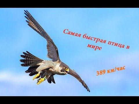 Самая быстрая птица в мире (Сокол Сапсан, Чёрный Стриж)