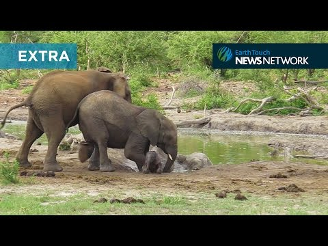 Elephants struggle to save clumsy calf