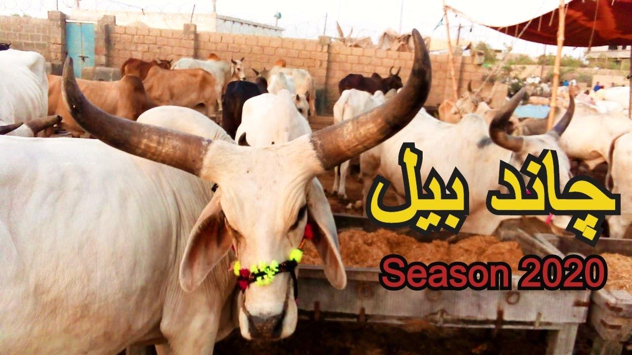 Download Heavy Chand Cow   Navel Mandi Karachi Latest Update 23 july 2020