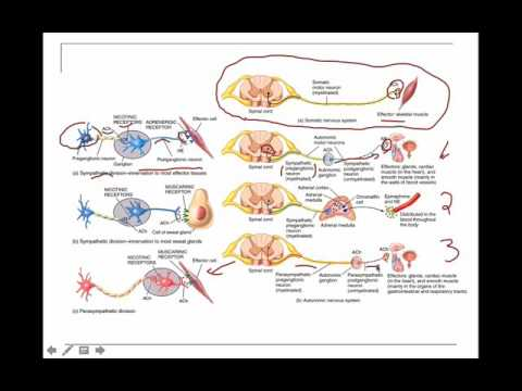 Sympathetic and Parasympathetic neurons - YouTube