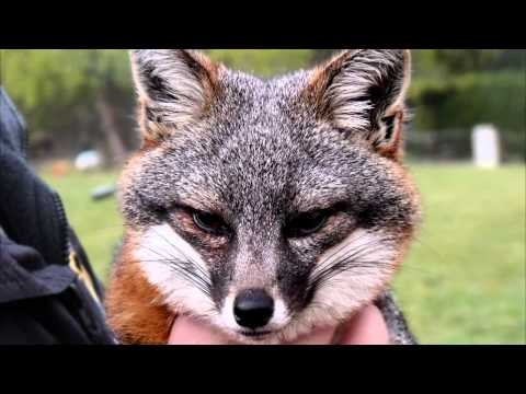 Finnegan, an Endangered Channel Island Fox