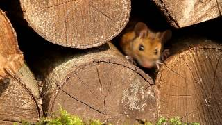 Peanut The Wood Mouse