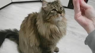 Дрессированный кот Мейн-кун выполняет команды.