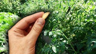 Забудьте о болячках томатов! Возьмите это и томаты никогда не будут болеть фитофторой и прочим