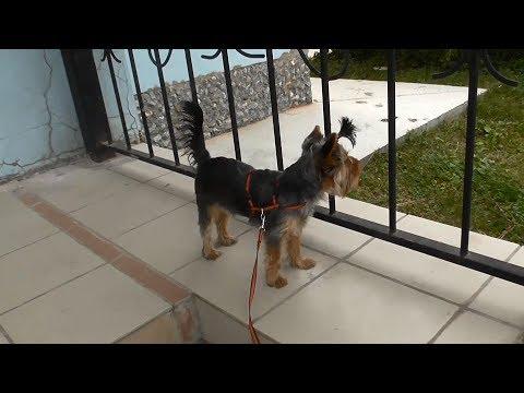 Yorkshire Terrier & Pekingese