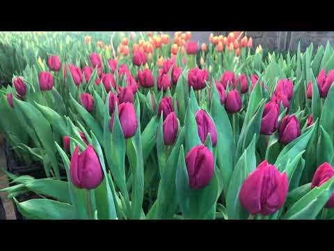 Выгонка тюльпанов к 14 февраля