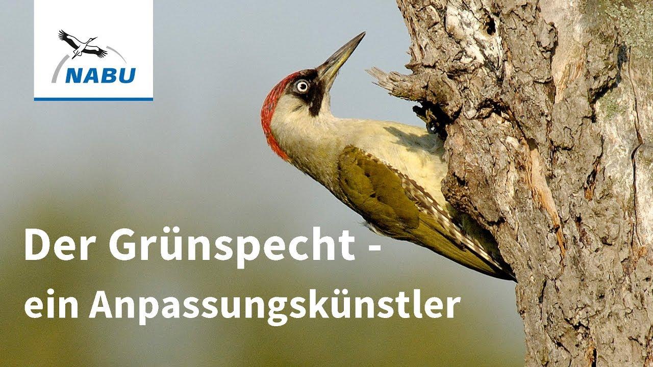 3d2c5af7c52 Der Grünspecht: Vogel des Jahres 2014 - YouTube