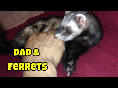 Dad & The Ferrets - Our Other Adorable Pets 2 - VOL. 25