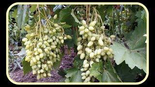 видео Виноград - это фрукт или ягода? Полезные свойства | Martcom - Концентрированные соки, овощные и фруктовые пюре по самым низким ценам от производителя