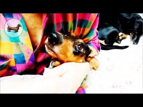 ТАКСЫ ^ ТАКСА — Стригущий лишай у ТАКСЫ :(( ~ ТАКСА (болезни / заболевания кожи у собак) Как лечить?