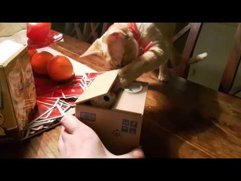 Devon Rex Cat Playing