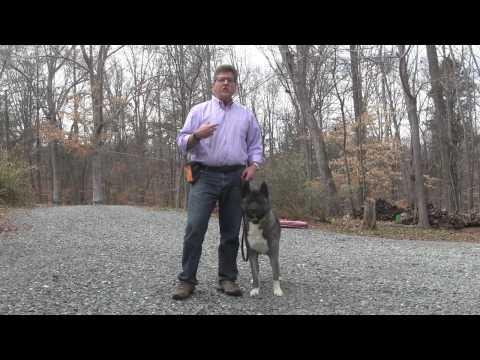 Rose | Akita Dog Training - Winston Salem NC
